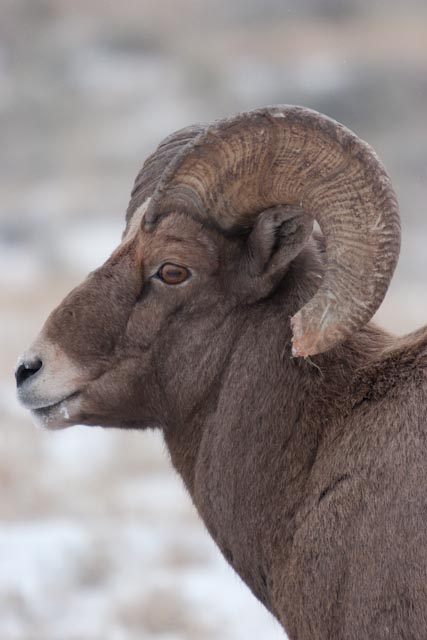 Bighorn Sheep on the National Elk Refuge in Jackson Hole Wyoming.