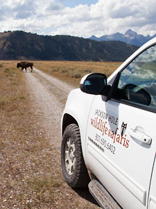 On safari in Grand Teton National Park with Bison crossing the road.