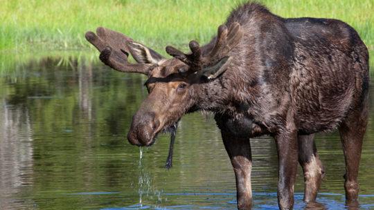 moose drinking water from lake