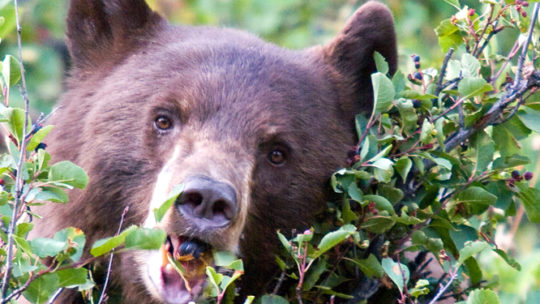 brown bear eating berries off a bush