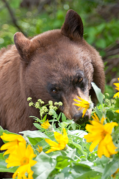 Black Bear grazing with flowers in Grand Teton National Park on a wildlife tour.