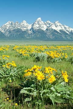 Spring flowers in Jackson Hole during a Grand Teton Tour