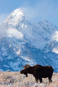Bull Moose in Grand Teton National Park on a winter wildlife tour.