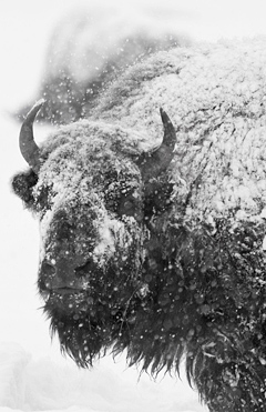 buffalo covered in snow