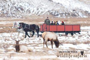 Two Bull Elk Graze On The National Elk Refuge In Jackson Hole