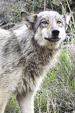 Join one of our Jackson Hole Wildlife Tours to see the wolves of Yellowstone.