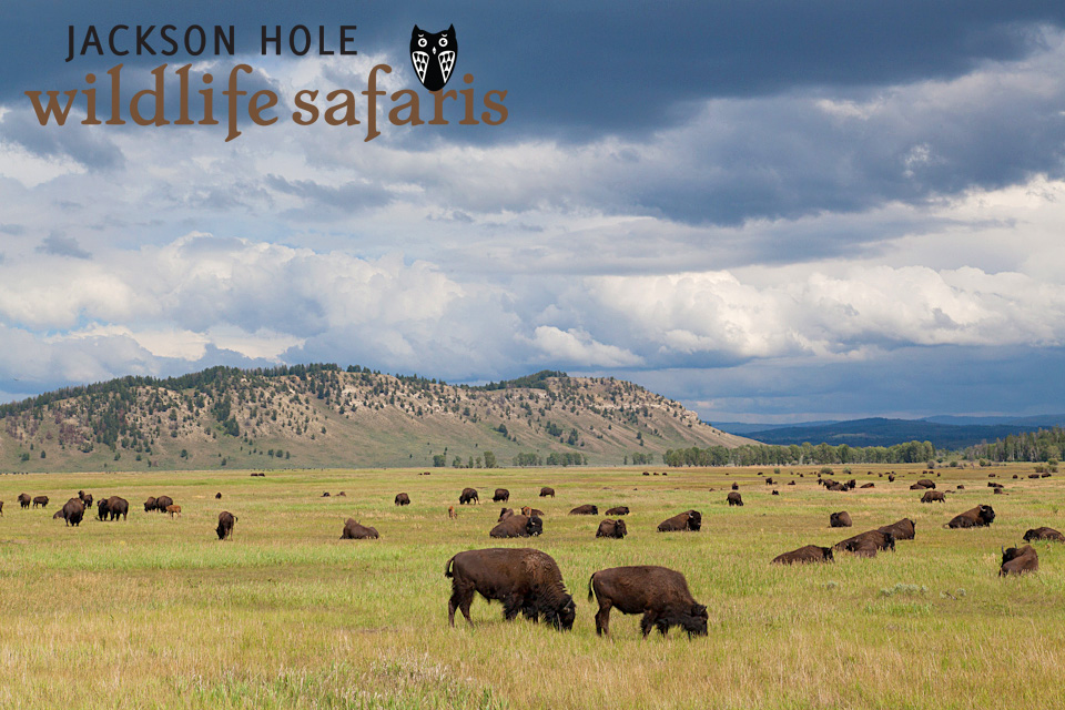 bison on a wildlife tour in Jackson Hole and Grand Teton.