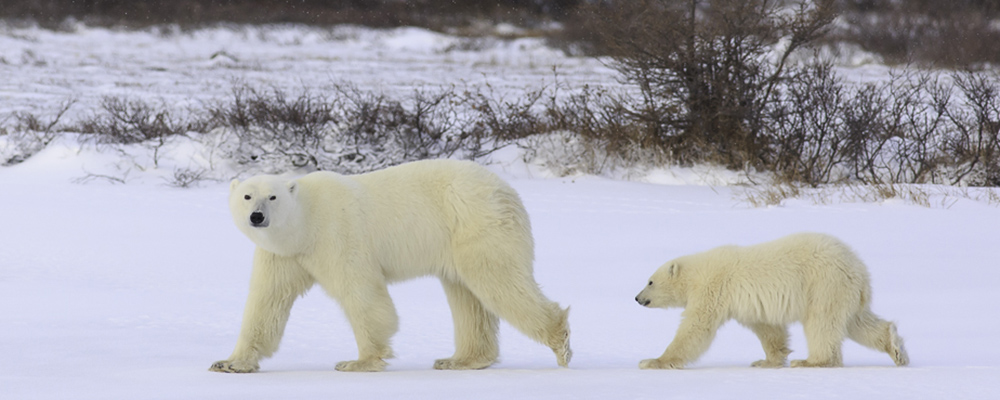 Polar Bear Sow and cub walking on ice along the Hudson Bay near Churchill Manitoba.