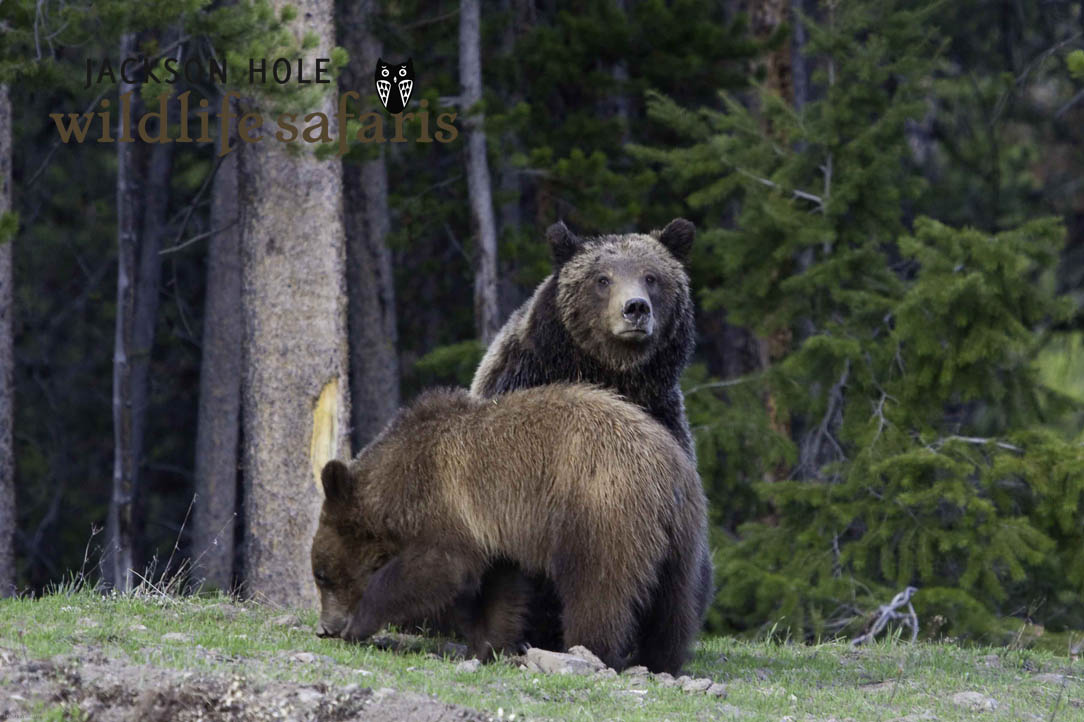 Grizzly 610 and her yearling cubs after waking from hibernation in 2012