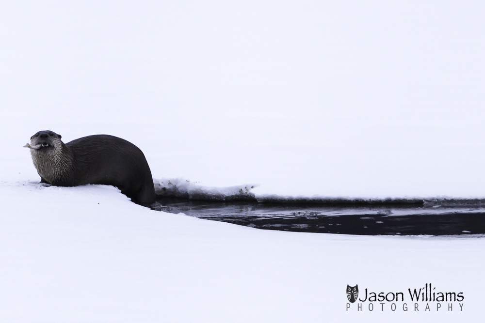 We are seeing otters on our Best of Jackson Hole Tour!