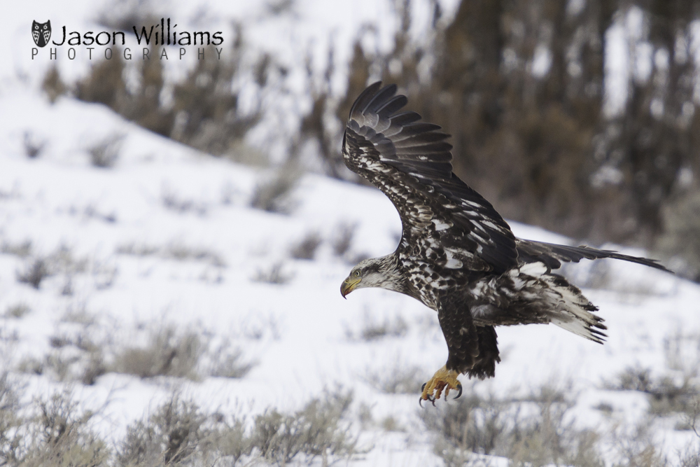 mmature bald eagle taking off from a kill in Jackson Hole, Wyoming.