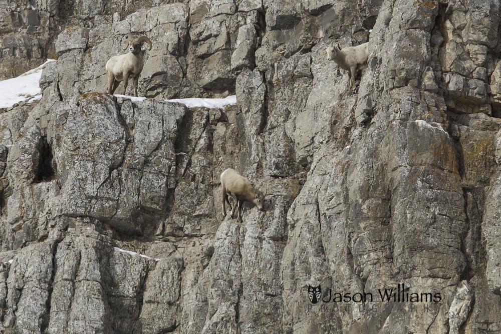 Bighorn sheep along the rock walls of Miller Butte on the National Elk Refuge in Jackson Hole, Wyoming.