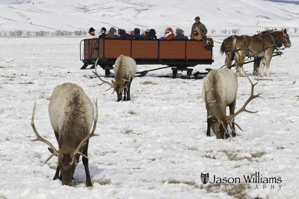 guests enjoying a horse drawn sleigh ride on the National Elk Refuge in Jackson Hole, Wyoming.
