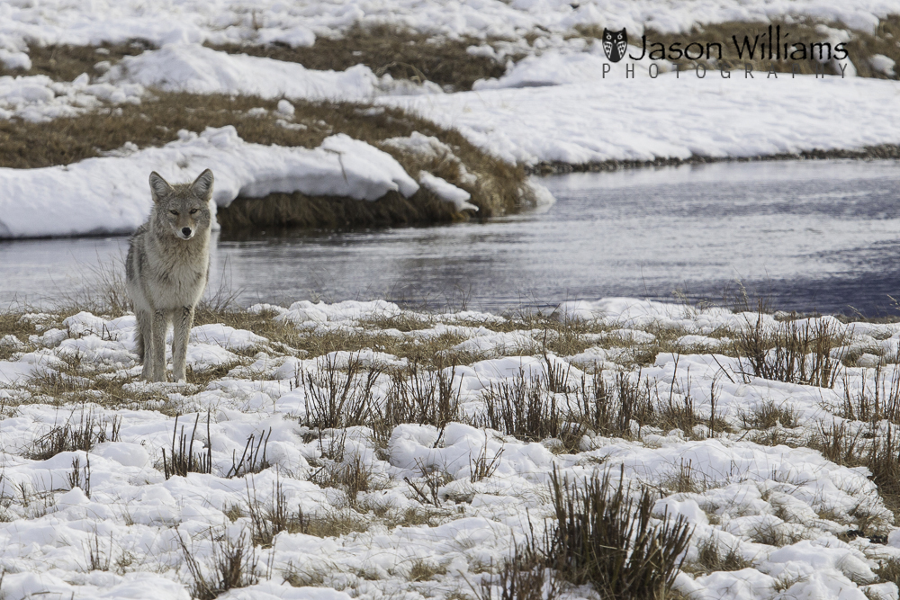 A coyote poses for pictures for our Best of Jackson Hole Winter Wildlife Tour.