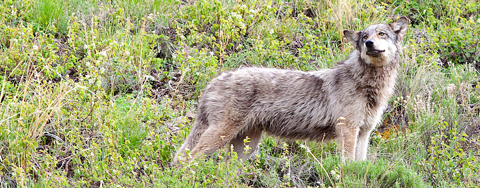 wolf of lamar valley in yellowstone