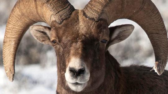 A Bighorn Sheep Ram Stares Down The Camera