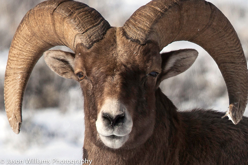 See Bighorn sheep on a Jackson Hole Wildlife Safaris