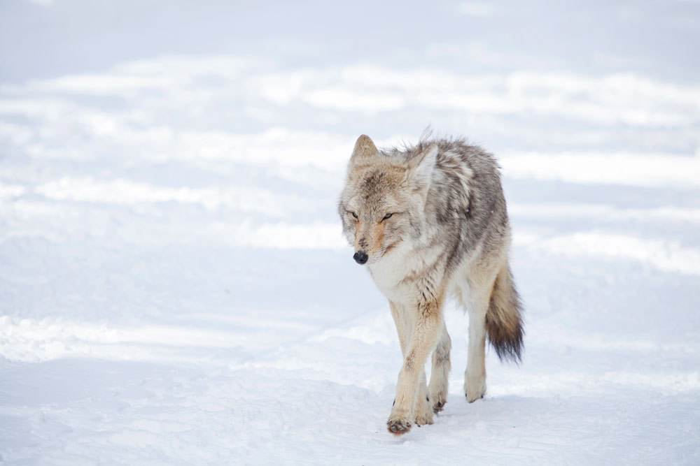 A coyote walking down the snowmobile trail