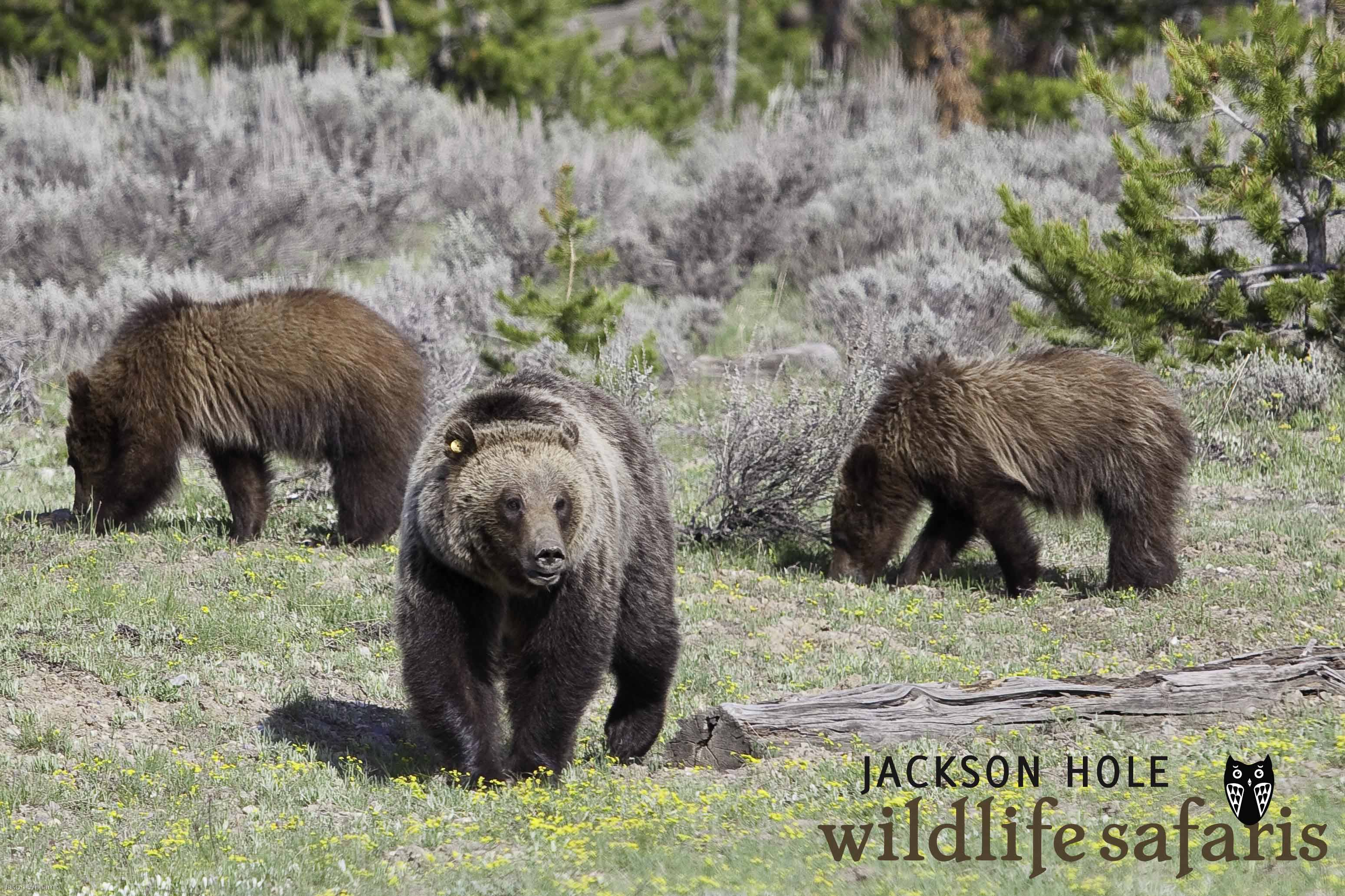 Grizzly 610 In Grand Teton National Park Jackson Hole