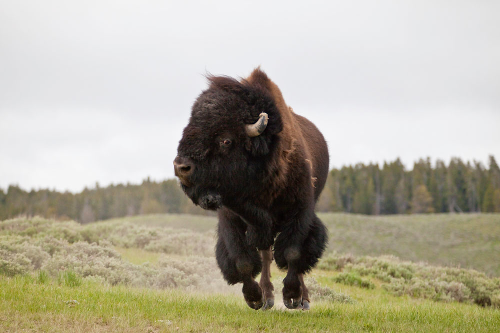 American Buffalo charging in Yellowstone during a wildlife safari tour.