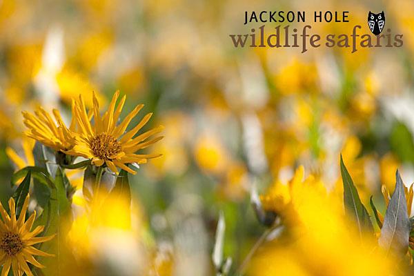 yellow flowers at grand teton