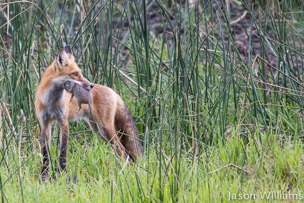 red fox with prey in mouth
