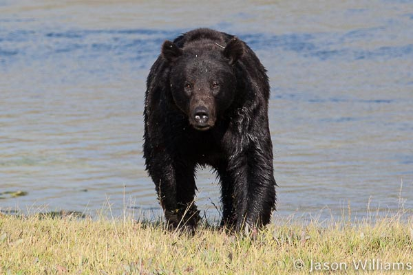 A Grizzly Bear Is Seen At The Water's Edge In Yellowstone National Park