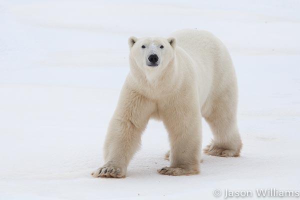 Polar Bear from a Tundra Buggy in Churchill Manitoba