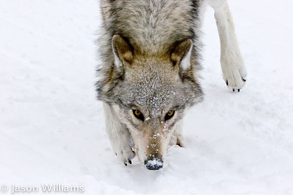 Grey wolf in Yellowstone National Park. Image by Jason Williams