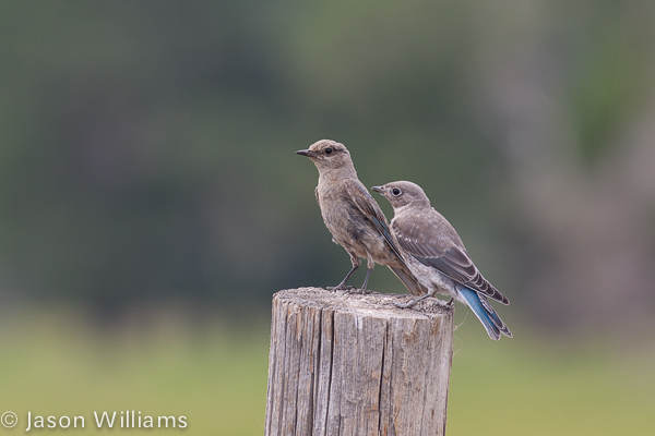 Female mountain bluebird with her recently fledged young on a fencepost at Mormon Row in Grand Teton National Park, Jackson Hole, Wyoming.
