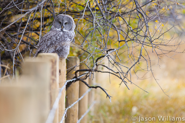 Great Grey Owl in Jackson Hole Wyoming.