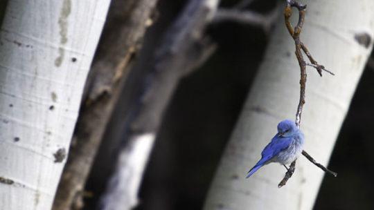 mountain bluebird in jackson hole