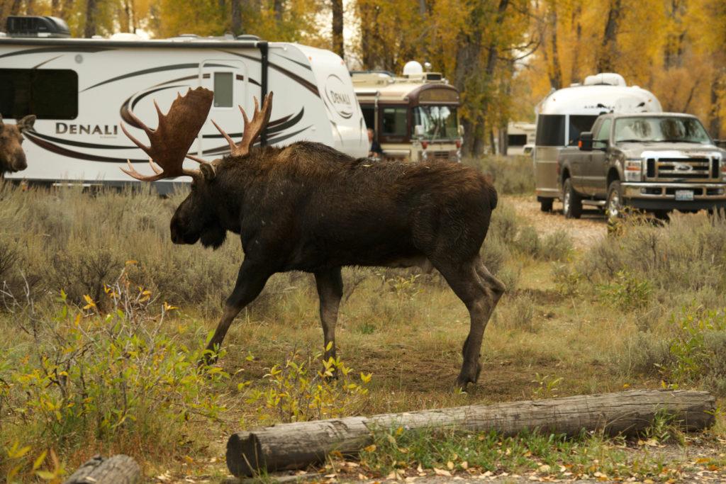 Moose - 20140924-060301