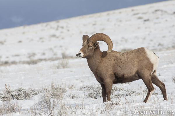 Bighorn Ram Pauses On A Snowy Hillside