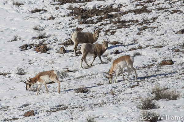 Bighorn sheep curiously watching the pronghorn as they graze past. Photo by Jason Williams
