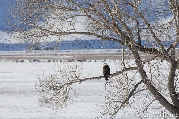 Bald Eagle surveying the National Elk Refuge from the large cottonwood tree. Photo by Jason Williams
