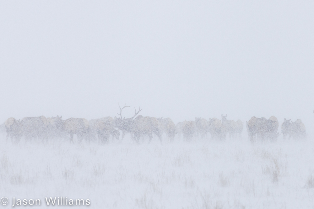 Herd of elk during the most recent snow storm in Jackson Hole. Photo by Jason WIlliams