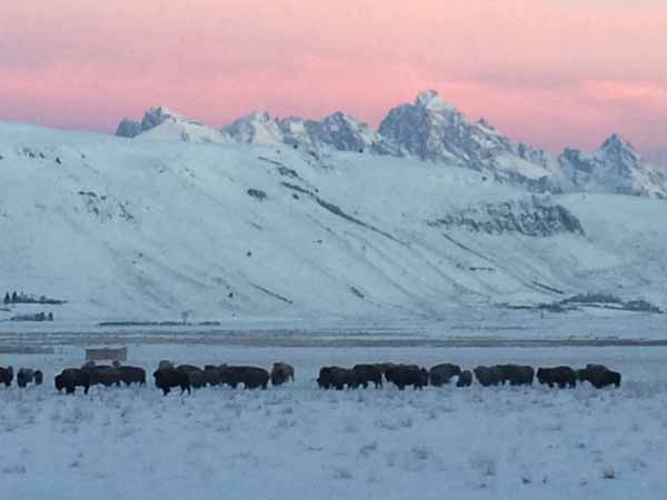Bison on the south end of the National Elk Refuge with the Grand Teton in the background. Photo by Jody Tibbetts