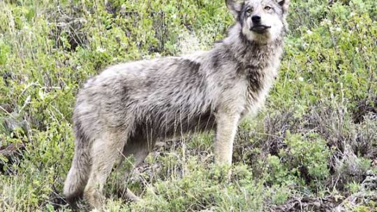 a grey wolf stands in bushes in lamar valley in yellowstone national park