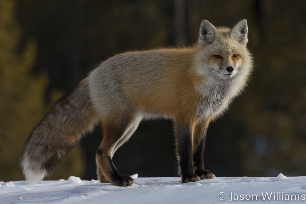 A Red Fox Patrols Along The Banks Of Jackson Lake In Winter In Grand Teton National Park
