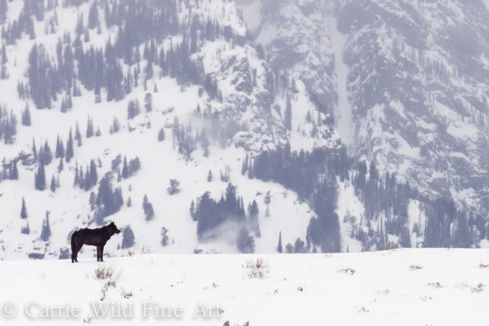 Lone black wolf we have been seeing roaming Jackson Hole, Wyoming.