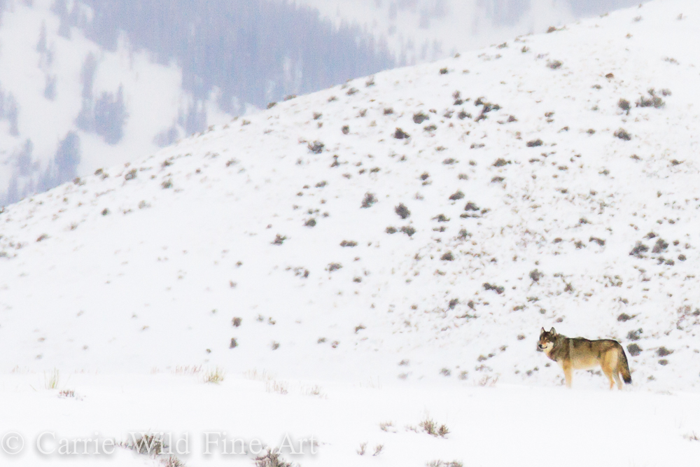 Pack of grey wolves in Blacktail Butte in Grand Teton National Park