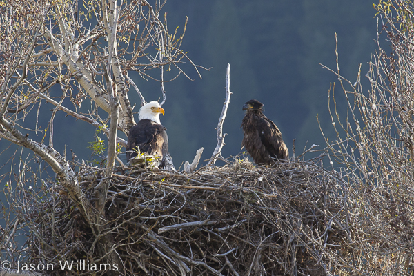Adult and Immature bald eagle in a nest along the Snake River in Jackson Hole. Image by Jason Williams