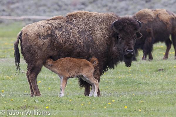 Bison nursing her new calf in Grand Teton National Park. Image by Jason Williams
