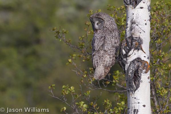 Great Grey Owl hunting along Moose Wilson Road in Grand Teton National Park, Jackson Hole Wyoming. Image by Jason Williams