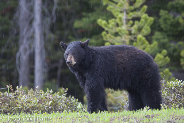 American Black bear in Grand Teton National Park in Jackson Hole Wyoming. Image by Jason Williams