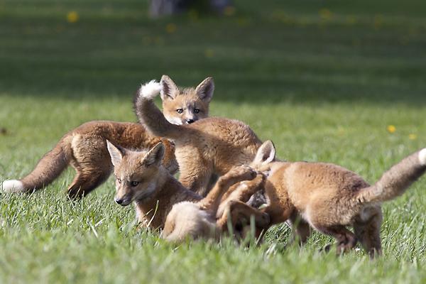 Red Fox Kits Play Together Near Their Fox Den