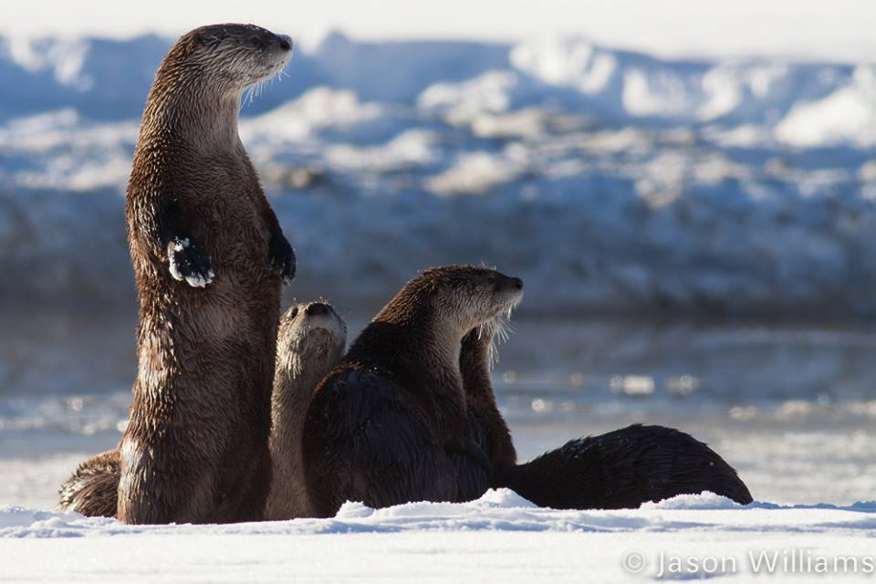 A family of otters in Grand Teton National Park, Jackson Hole, Wyoming. Image by Jason Williams