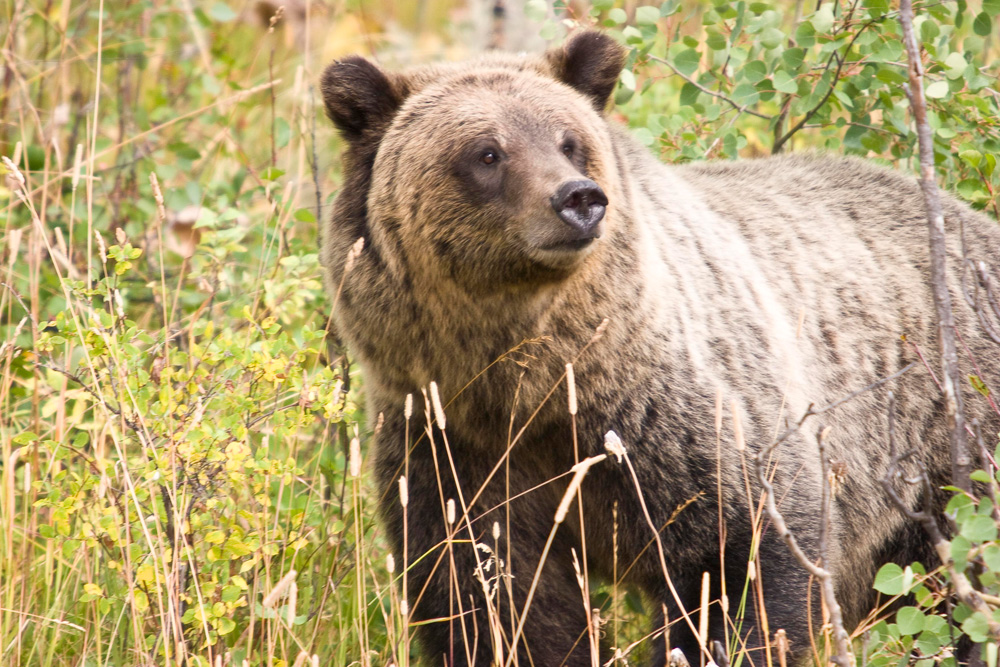 Grizzly Bear 399 Stands In Bushes in Grand Teton National Park