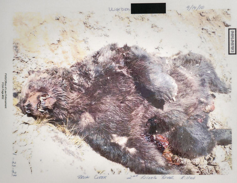 Dead Grizzly Bear image as published in Mike Koshmrl's article about bear mortality in the Jackson Hole News and Guide recently. Photo courtesy of USFWS